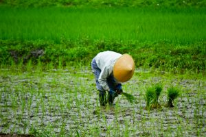 田植えをする農家