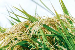 収穫前の首を垂れる程に実った稲穂