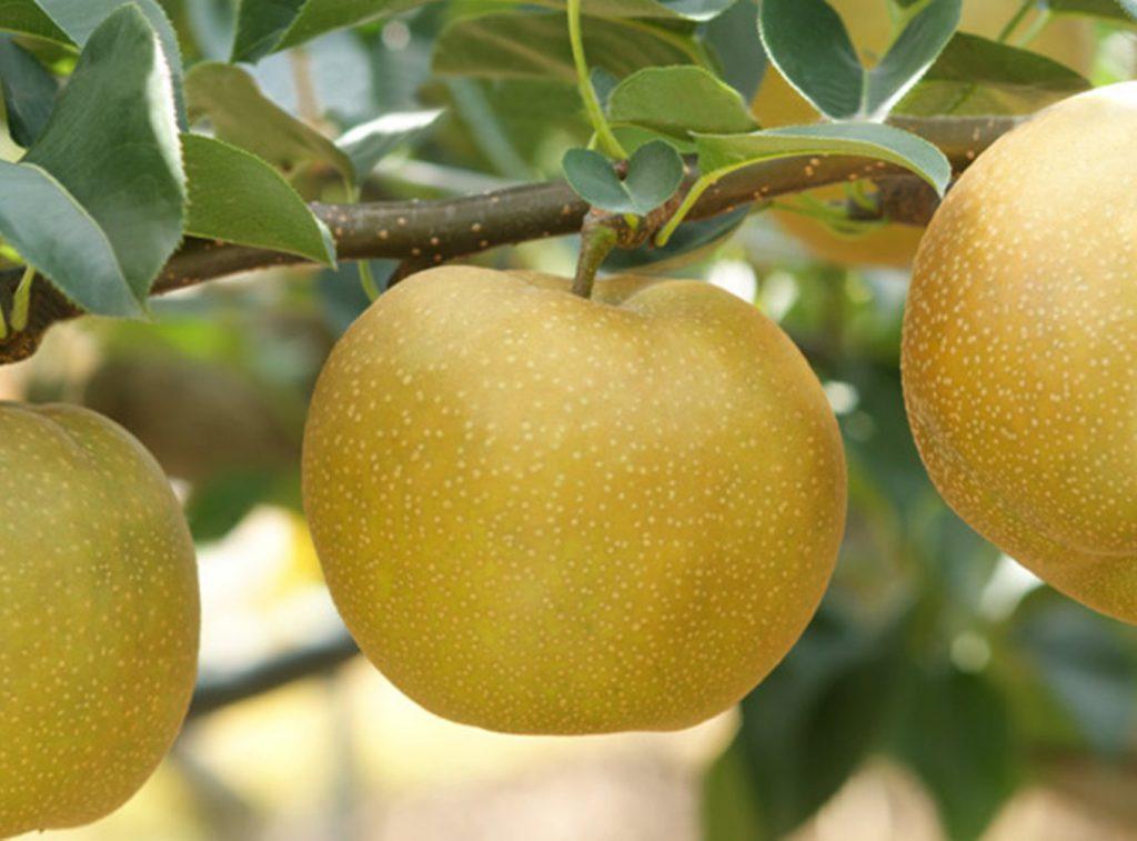 鳥取県琴浦町のふるさと納税返礼品フルーツをご紹介!