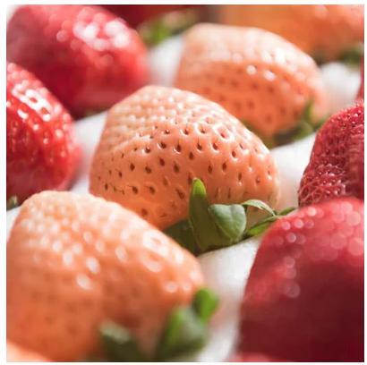 2つの色と味わいが楽しめる!紅白いちごギフト箱(計24-30粒)