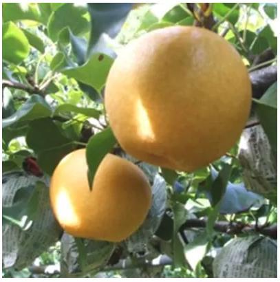 九重産 梨(約3kg)