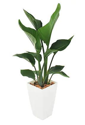 観葉植物(オーガスタ)